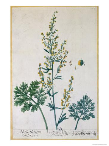 Absinthe, Plate from Herbarium Blackwellianum by the Artist, 1757 Giclee Print