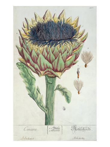 Artichoke, from 'Herbarium Blackwellianum', 1757 Lámina giclée