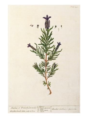 French Lavender, Plate 241 from 'A Curious Herbal', published 1782 Lámina giclée