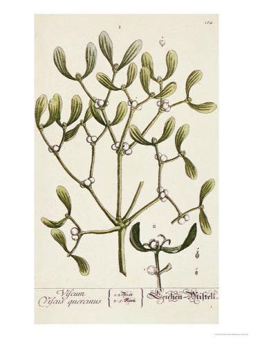 Mistletoe from A Curious Herbal, 1782 Giclee Print
