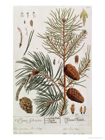 Pine Tree, from A Curious Herbal, Published in Nuremburg in 1757 Giclee Print