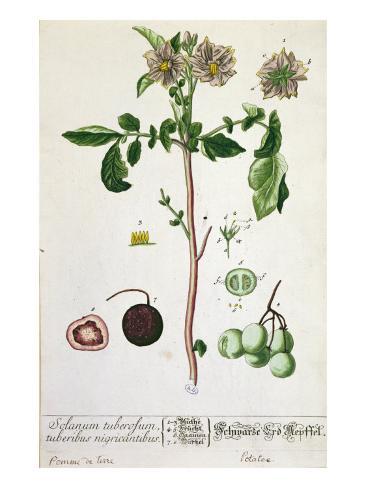 Potato Plant and Fruit, Plate from 'Herbarium Blackwellianum', Published 1757 in Nuremberg, Germany Lámina giclée