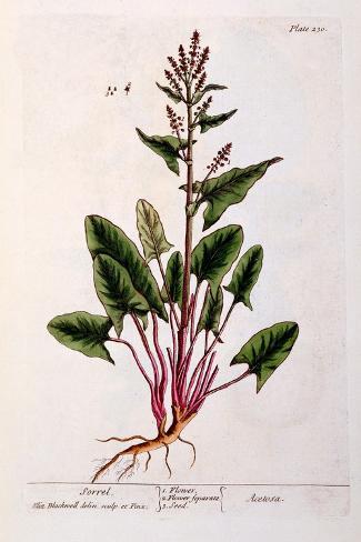 Sorrel, Plate 230 from 'A Curious Herbal', Published 1782 Impressão giclée