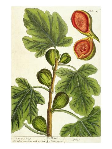 The Fig Tree, Plate 125 from 'A Curious Herbal', published 1782 Lámina giclée