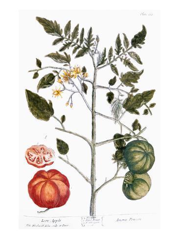 Tomato Plant, 1735 Giclee Print