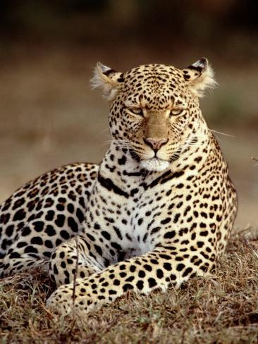 Leopard, East Africa Photographic Print