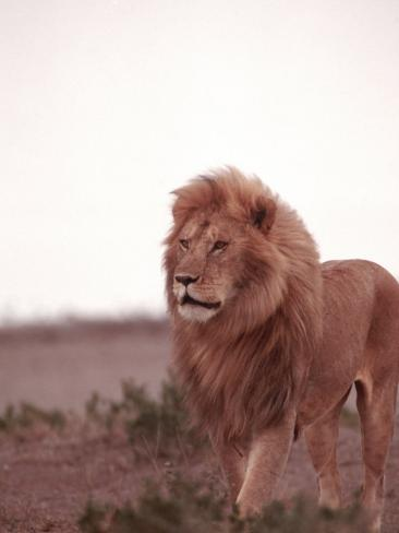 Lion, Masai Mara Game Resv, Kenya, Africa Photographic Print