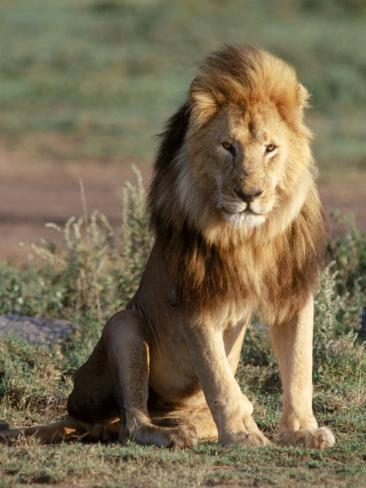 Male Lion, East Africa Photographic Print