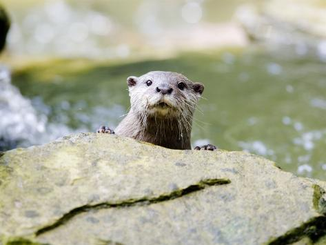 Asian Short Clawed Otter, Curious Otter Peering Over Rock, Earsham, UK Photographic Print