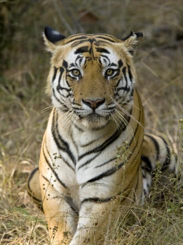 Bengal Tiger, Portrait of Male Tiger, Madhya Pradesh, India Stampa fotografica