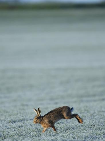 Brown Hare Running Across Frosty Field, Lancashire, UK Photographic Print