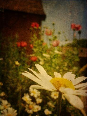 Poppy Days Photographic Print