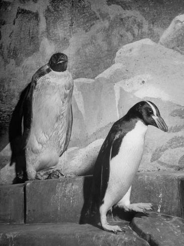 Emperor Penguins, Washington, D.C. Zoo Stretched Canvas Print