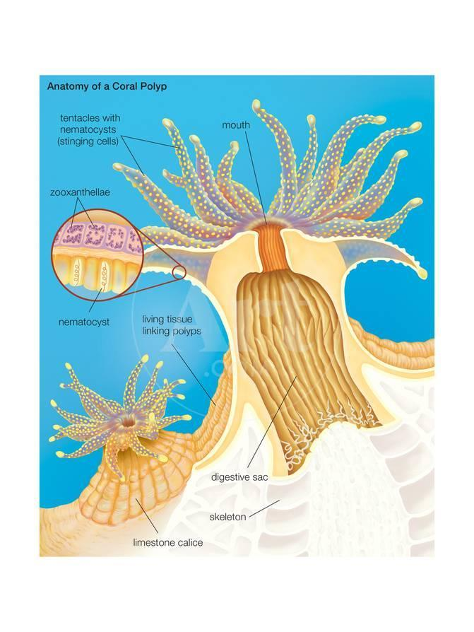 Cross Section of a Generalized Coral Polyp. Invertebrate, Cnidarians ...