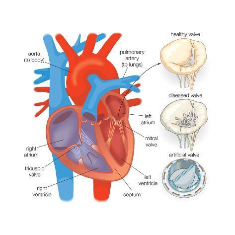 Diagram Of The Human Heart Valve Examples Prints By Encyclopaedia