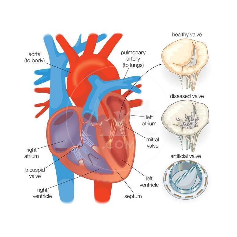 Diagram Of The Human Heart Valve Examples Posters By Encyclopaedia