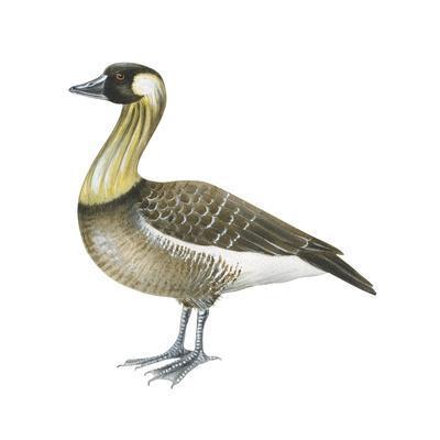 Hawaiian Goose (Branta sandvicensis ) |Hawaiian Goose Branta Sandvicensis