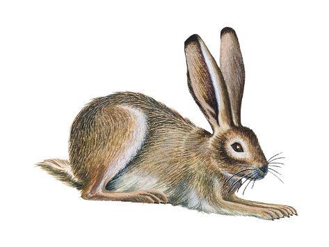 Jackrabbit (Lepus Townsendi), Mammals Poster