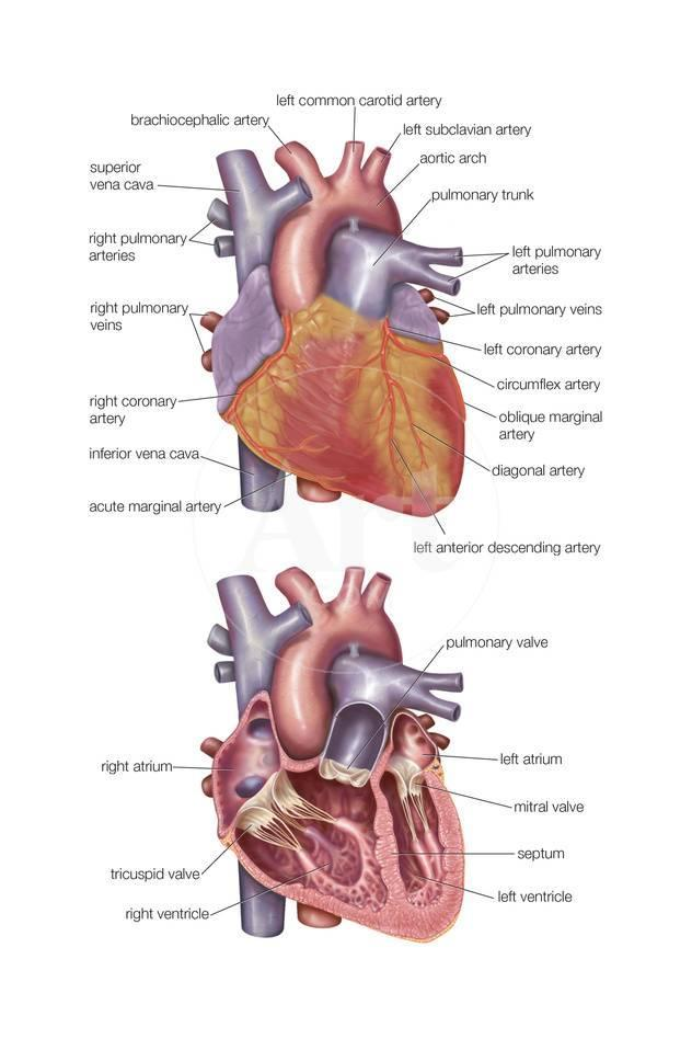 Left Common Carotid Artery Posters By Encyclopaedia Britannica