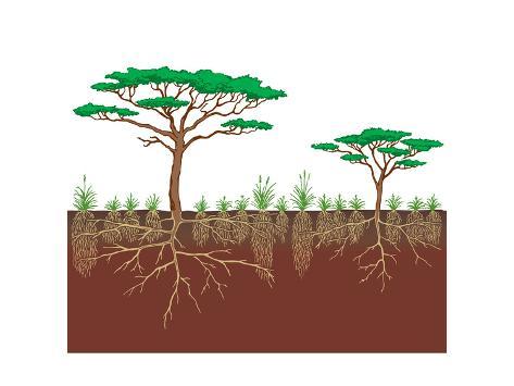 Vegetation Profile of a Savanna. Biosphere, Earth Sciences Poster