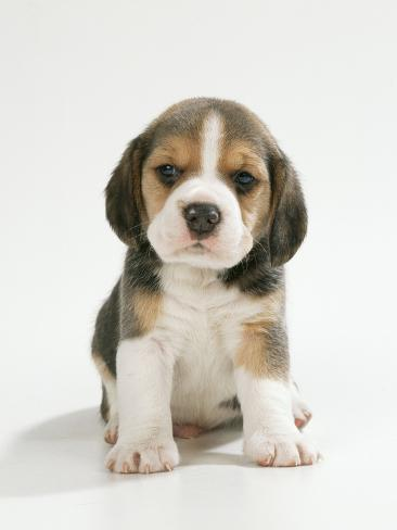 english beagle puppy sitting photographic print at allposters com
