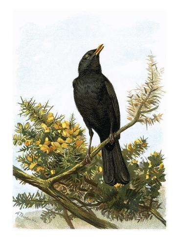 Blackbird Giclee Print