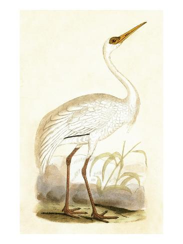 Siberian Crane,  from 'A History of the Birds of Europe Not Observed in the British Isles' Giclee Print