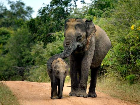 APTOPIX Sri Lanka Elephants Photographic Print