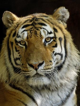 Siberian Tiger Male Portrait Iucn Red List Of Endangered