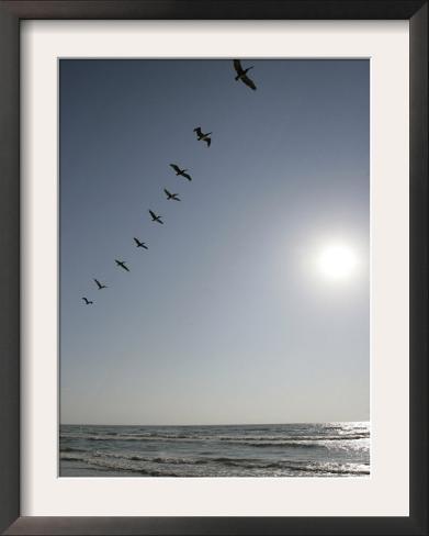 Pelicans Pass over Boca Chica, Texas Framed Photographic Print