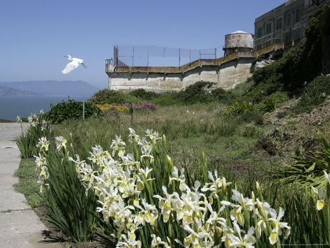 Egret Flies over the lawns of Alcatraz, San Francisco, California Photographic Print