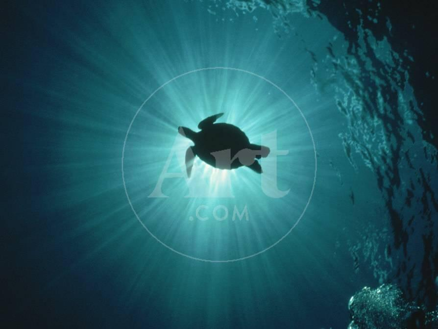 silhouette of underwater sea turtle from beneath photographic print