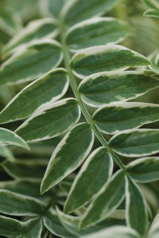Compound Leaves I Valokuvavedos