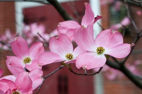 オールポスターズの エリン バーゼル dogwood blossoms ii 写真プリント