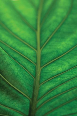 Leaf Detail V Valokuvavedos