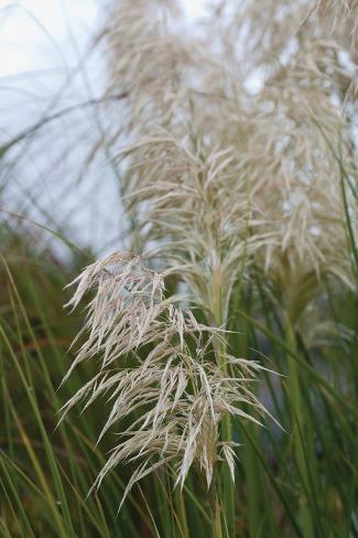 Native Grass II Valokuvavedos
