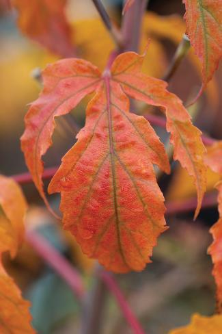 Orange Leaves I Valokuvavedos