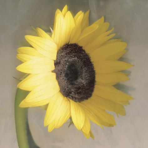 Sunflower Sträckt kanvastryck