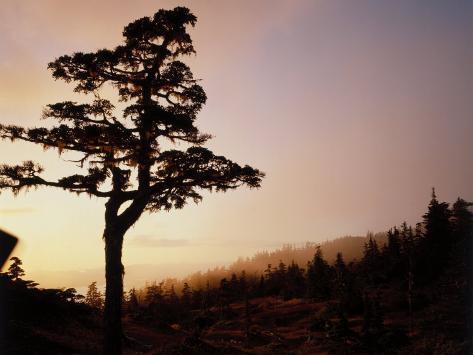 Alpine Hemlock, Baranof Island, AK Photographic Print