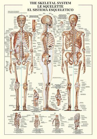 Esqueleto humano Póster en AllPosters.es
