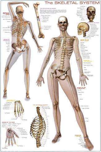 Esqueleto humano Lámina en AllPosters.es