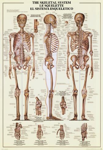 Esqueleto humano Láminas en AllPosters.es