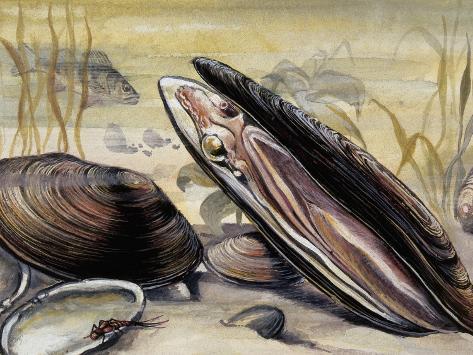 European Pearly Mussels in Water (Margaritifera Margaritifera) Stretched Canvas Print