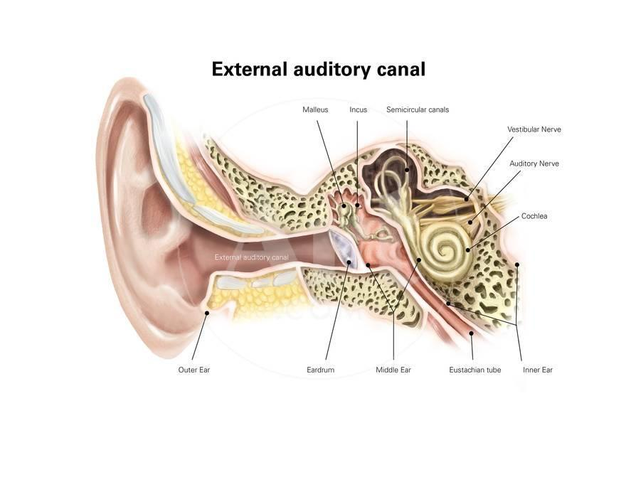 External Auditory Canal of Human Ear (With Labels) Prints ...