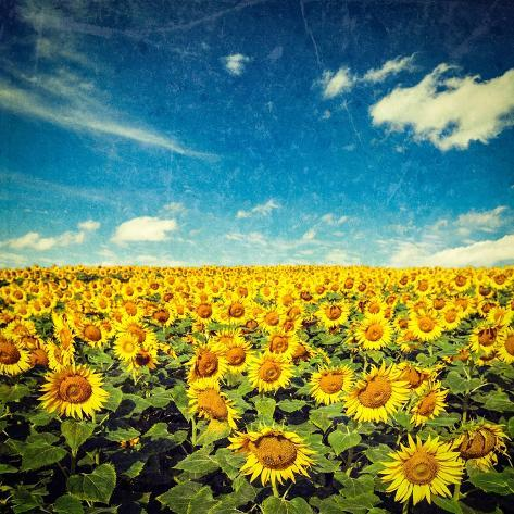 Vintage Retro Hipster Style Image of Idyllic Scenic Landscape - Sunflower Field and Blue Sky with G Valokuvavedos