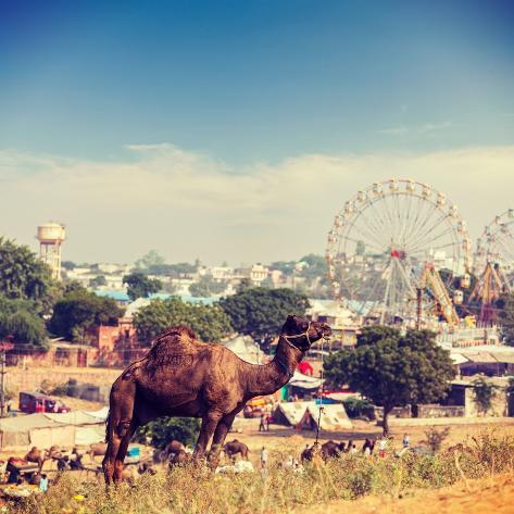 Vintage Retro Hipster Style Travel Image of Camels at Pushkar Mela (Pushkar Camel Fair). Pushkar, R Valokuvavedos