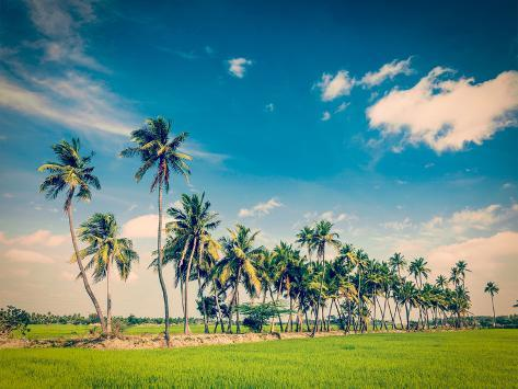 Vintage Retro Hipster Style Travel Image of  Rural Indian Scene - Rice Paddy Field and Palms. Tamil Valokuvavedos