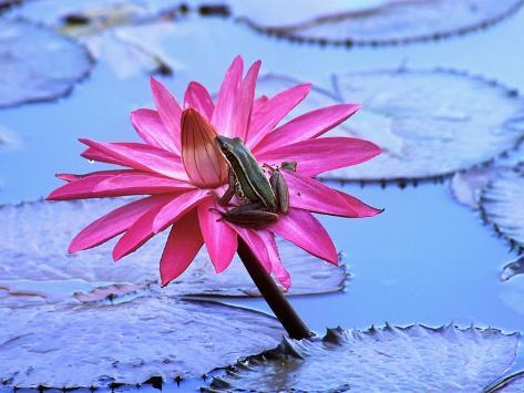 Frog on water lily in pond Photographic Print