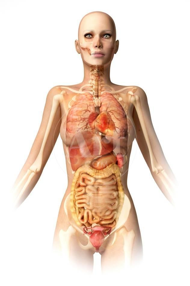 Female Body With Bone Skeleton And Internal Organs Superimposed