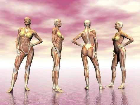 female muscular system from four points of view print at, Muscles